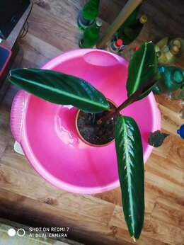Комнатные растения - ктенанта маранта строманта сорт марун 30см лист, 0