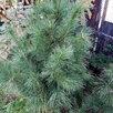 Сибирский кедр (pinus sibirica) по цене 20000₽ - Рассада, саженцы, кустарники, деревья, фото 1