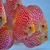 Дискус красная панда по цене 6000₽ - Аквариумные рыбки, фото 6