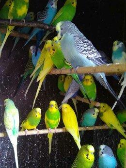 Птицы - Домашние волнистые  попугайчики, птенцы и взрослые, 0