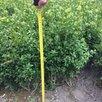 Самшит растения по цене даром - Рассада, саженцы, кустарники, деревья, фото 1