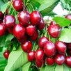 Взрослые деревья черешни по выгодной цене по цене 500₽ - Рассада, саженцы, кустарники, деревья, фото 0