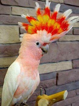 Птицы - Попугай какаду инка из питомника, 0