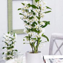 Комнатные растения - Продаю Орхидею Дендробиум, 0