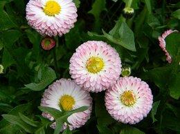 Рассада, саженцы, кустарники, деревья - Цветы для дачи (маргаритки), 0