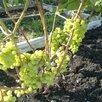 Саженцы винограда Северо - Западного региона по цене 200₽ - Рассада, саженцы, кустарники, деревья, фото 2