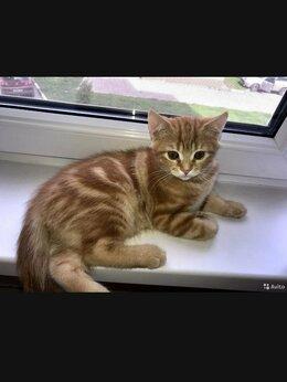 Кошки - Шотландский котёнок, мраморный мальчик, 0