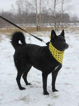 Собаки - Метис лайки Ночка, 0