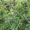 Саженец Ирга по цене 600₽ - Рассада, саженцы, кустарники, деревья, фото 1