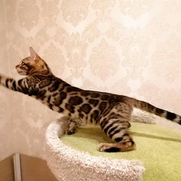 Кошки - Бенгальский котенок, 0