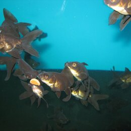 Аквариумные рыбки - Аквариумные Золотая рыбка ТЕЛЕСКОП ЧЕРНЫЙ, 0