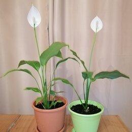 Комнатные растения - Спатифиллум (женское счастье) 60 см., с горшком. , 0