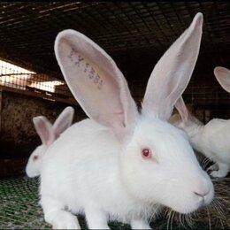 Кролики - Кролики белый великан, 0