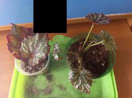 Комнатные растения - Бегонии королевские, 0