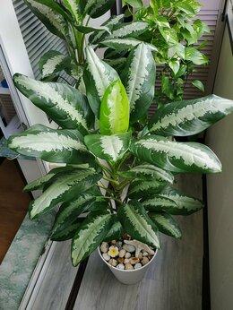 Комнатные растения - Аглаонема Паттайя Бьюти, 0