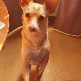 Собаки - Той терьер, шикарная кремовая девочка 1 год, 0