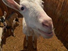 Сельскохозяйственные животные - Коза дойная молочная, 0