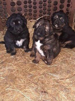 Собаки - щенок Тибетский Мастиф, 0
