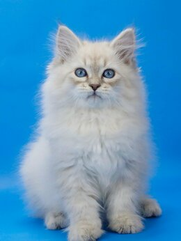 Кошки - Невский маскарадный кот по имени ОРФЕЙ, 0