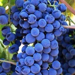 Рассада, саженцы, кустарники, деревья - Саженцы винограда Северо - Западного региона, 0