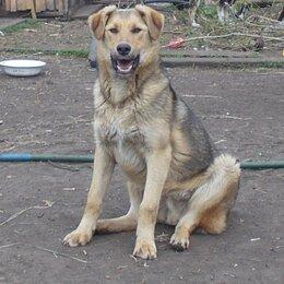 Собаки - Крупный пёс  в добрые руки, 0