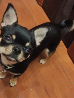 Животные - Потерялся пёсик Чихуа хуа на Живописной ул, 0