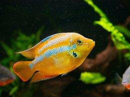 Аквариумные рыбки - Цихлазома Сальвини мальки, 0