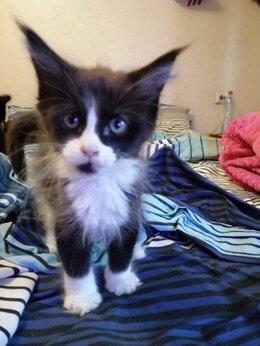 Кошки - Котята крепыши., 0