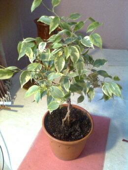 Комнатные растения - Штамбовое деревце фикус Бенджамина пестролистный, 0