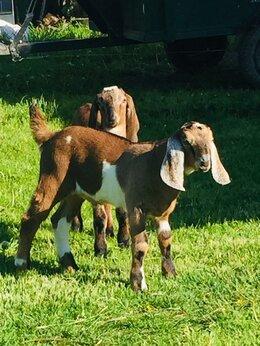 Сельскохозяйственные животные - 100% Англо нубийские козлики, 0