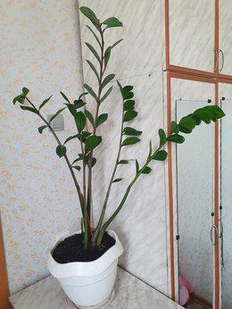 Комнатные растения - Замиокалькус , 0