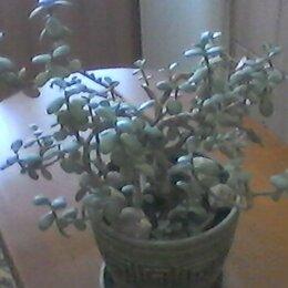 Комнатные растения - КОМНАТНЫЙ ЦВЕТОК-ТОЛСТЯНКА-ДЕНЕЖНОЕ ДЕРЕВО, 0