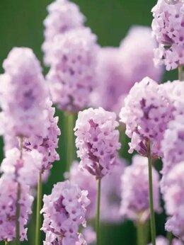 Рассада, саженцы, кустарники, деревья - Лаванда розовая рассада, 0