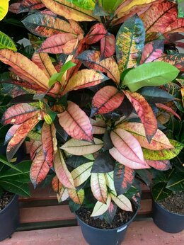 Комнатные растения - Кротон Кодиеум Пестролистный Айстон 126 см, 0