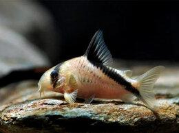 Аквариумные рыбки - Коридорас Мелини мирный донный сомик…, 0