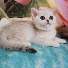 Кошки - Девочка скоттиш страйт, 0