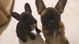Собаки - Продам щенка французский бульдог, 0