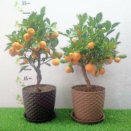 Комнатные растения - Мандарин в горшке с плодами. Челябинск, 0