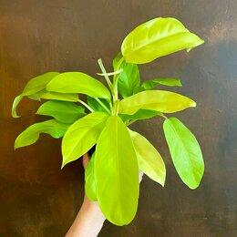 Комнатные растения - Филодендрон Малайское золото Philodendron Malay…, 0