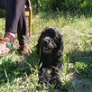 Щетки американские Кокер спаниель по цене 8000₽ - Собаки, фото 16
