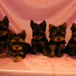 Собаки - Йорки супер мини и мини , 0