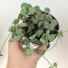 Комнатные растения - Церопегия Вуда Ceropegia woodii (Диаметр горшка,…, 0