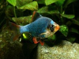 Аквариумные рыбки - БАРБУС МШИСТЫЙ  ЗЕЛЁНЫЙ - ЗАМОРОЖЕННЫЕ И СУХИЕ…, 0