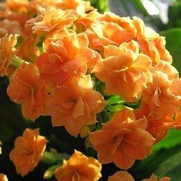 Комнатные растения - комнатный цветок Каланхоэ, 0