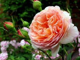 Рассада, саженцы, кустарники, деревья - Роза Абрахам Дерби (Abraham Darby) - Шраб, 0