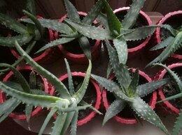 Комнатные растения - Алоэ и Алоэ Вера, 0
