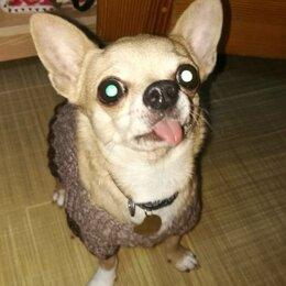 Услуги для животных - Вязка чихуахуа, 0