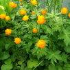 Купавка садовая. по цене 150₽ - Рассада, саженцы, кустарники, деревья, фото 1