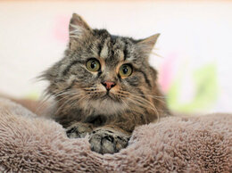 Кошки - Фенотип - Сибирский кот Ай-Яй., 0