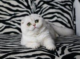 Кошки - кошечка чистопородная, 0